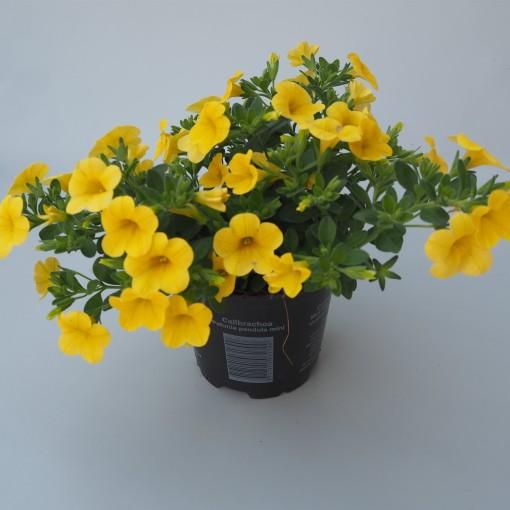 Calibrachoa MINIFAMOUS YELLOW (Sonneveld Plants)