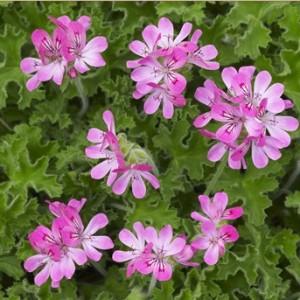 Pelargonium capitatum (Van der Valk bv)