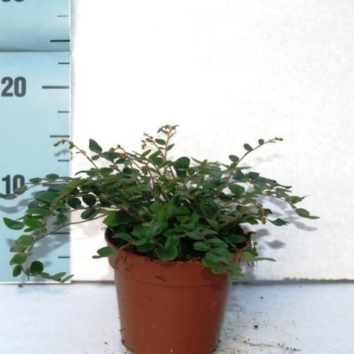 Pellaea rotundifolia (Ruhé Varens B.V.)