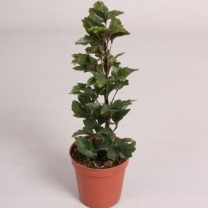 Schefflera elegantissima 'Gemini'