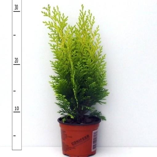 Chamaecyparis lawsoniana 'Stardust' (Boomkwekerij Potcultuur Gebr. Rademaker)