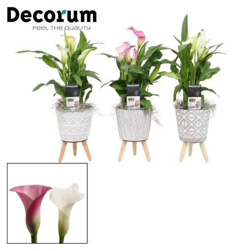 Zantedeschia MIX (Vreugdenhil Bulbs & Plants)
