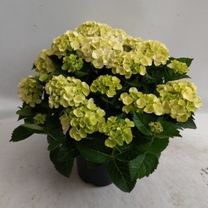 Hydrangea macrophylla CAIPIRINHA