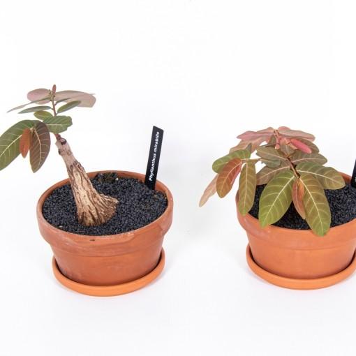 Phyllanthus mirabilis (Ansu)