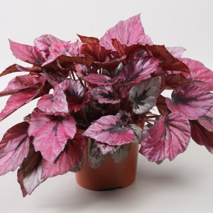 Begonia BELEAF INDIAN SUMMER