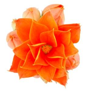Kalanchoe blossfeldiana ROSE FLOWERS MARISSA (Queen - Knud Jepsen a/s)