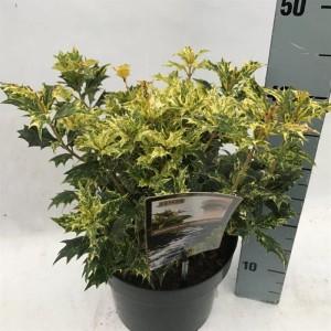 Osmanthus heterophyllus 'Goshiki' (Asra Plant)