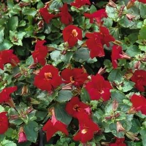 Mimulus 'Bonfire Red' (Moerings Waterplanten)