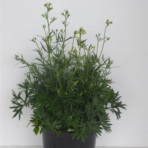 Delphinium grandiflorum (Experts in Green)
