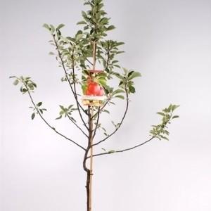 Malus domestica 'Braeburn' (Fruithof)