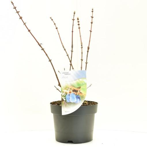 Lonicera caerulea 'Atut' (Dool Botanic)