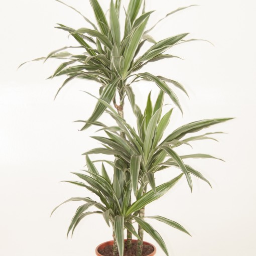 Dracaena fragrans 'Warneckei' (Ammerlaan, The Green Innovater)