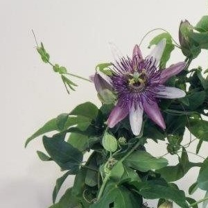 Passiflora x belottii 'Impératrice Eugénie'