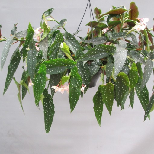 Begonia maculata (JM plants)