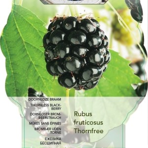Rubus fruticosus 'Thornfree' (BOGREEN Outdoor Plants)