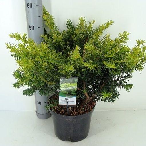 Taxus baccata 'Summergold' (Bremmer Boomkwekerijen)