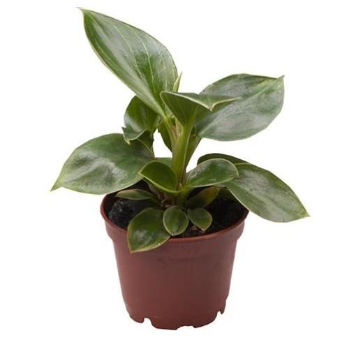 Philodendron BIRKIN / WHITE MEASURE (Gasa DK)