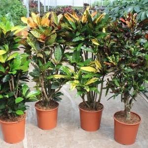 Codiaeum variegatum MIX