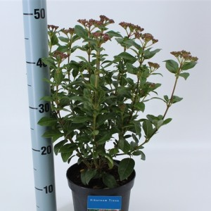 Viburnum tinus (About Plants Zundert BV)