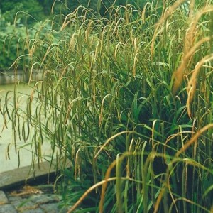 Carex pendula (van der Velde Waterplanten BV)