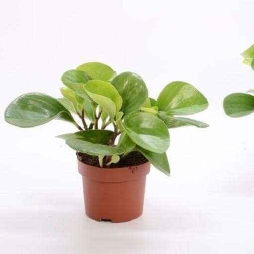 Peperomia obtusifolia 'Green Gold' (Bunnik Plants)