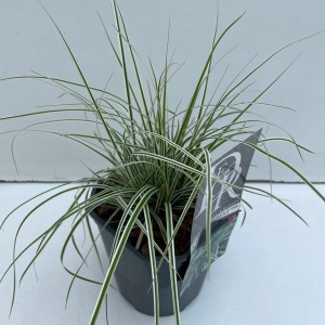 Carex oshimensis EVERCOLOR EVEREST