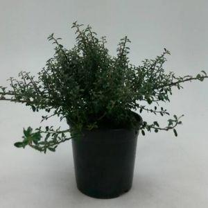 Cotoneaster integrifolius 'Silver Shadow'