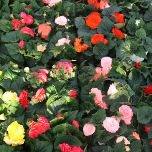 Begonia FORTUNE MIX