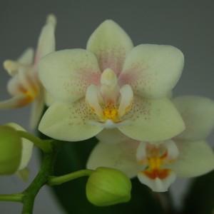 x Doritaenopsis Sogo Bianca (Wichmann Orchideen e.K.)