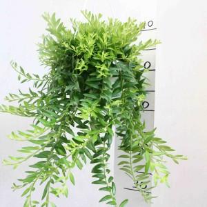 Aeschynanthus 'Japhrolepis'