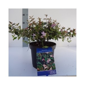 Abelia 'Edward Goucher' (About Plants Zundert BV)