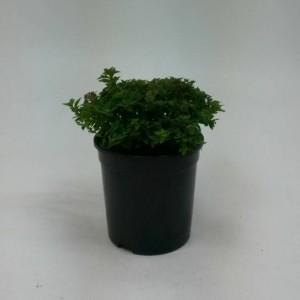 Spiraea japonica 'Nana' (WTM de Boer)