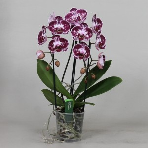 Phalaenopsis ASIAN PEARL