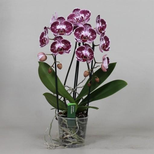 Phalaenopsis ASIAN PEARL (Leerdam Orchideeën)