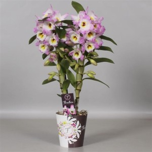 Dendrobium nobile STAR CLASS MOMOKO
