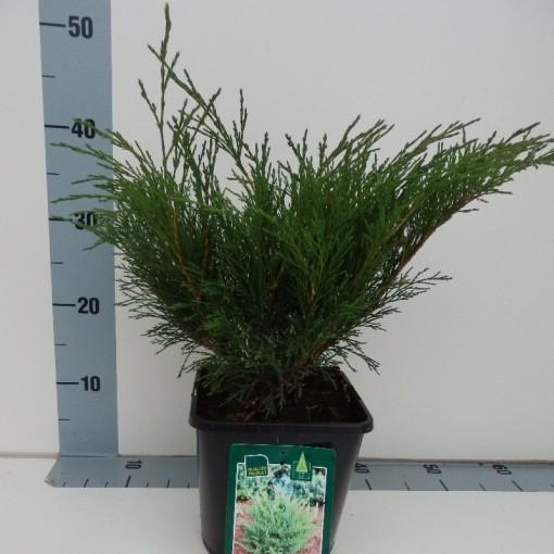Juniperus sabina (Koekoek Potcultures, de)