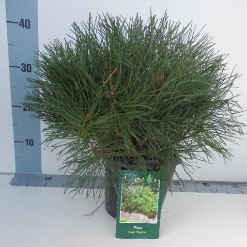 Pinus mugo mughus (De Koekoek Potcultures)