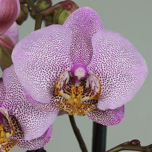Phalaenopsis ANTHURA MANHATTAN
