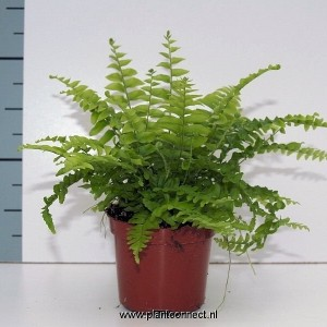 Nephrolepis exaltata MIX