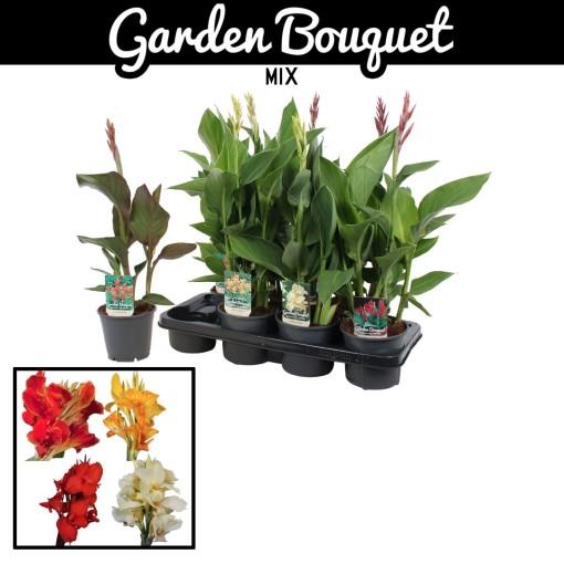 Canna MIX (Vreugdenhil Bulbs & Plants)