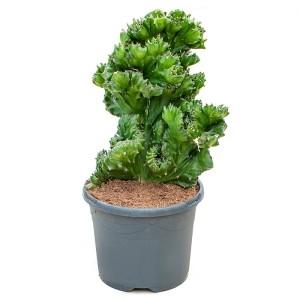 Euphorbia franckiana