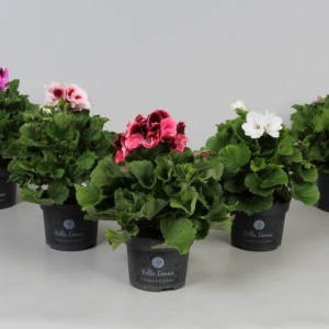 Pelargonium BELLA DONNA MIX