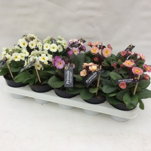 Primula GOLD NUGGET MIX