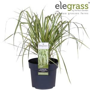 Calamagrostis x acutiflora 'Eldorado'