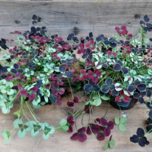 Trifolium repens MIX IN POT (Gasa DK)
