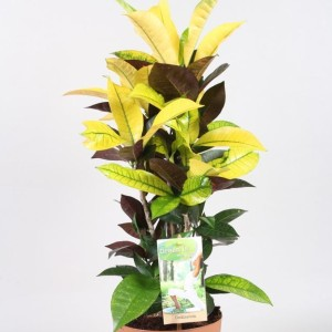 Codiaeum variegatum 'Mrs.Iceton' (Vireo Plant Sales)