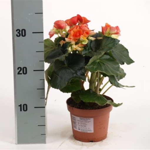 Begonia ELATIOR MIX (Dehne Topfpflanzen)