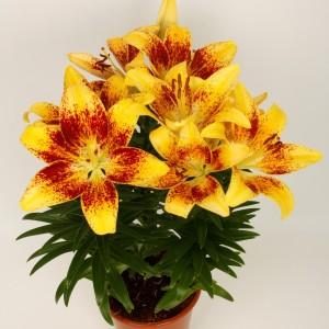 Lilium 'Tiny Nugget' (Wetering Potlilium)