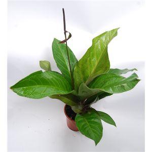 Anthurium BOTANICAL KING GREEN STAR (Van der Arend Tropical Plantcenter)