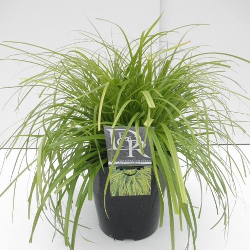 Carex oshimensis 'Everillo' (Cammeraat Potcultuur)